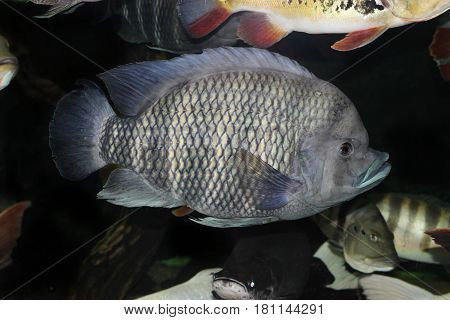 Tilapia in our home aquarium. The aquarium is 4800 liters with a large population. The length of the tilapia is 50 centimeters. It's 10 years old.
