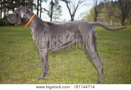 Great Dane purebred that is gray on a grassy field