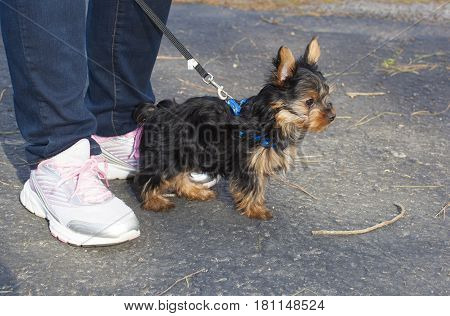 Yorkshire terrier puppy next to the owners feet