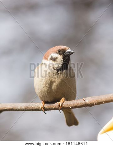 Eurasian Tree Sparrow Passer montanus close-up portrait in branches with bokeh background selective focus shallow DOF.
