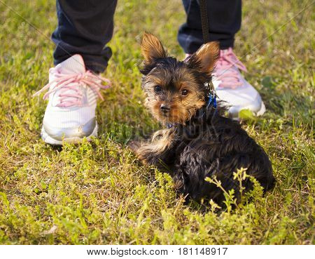Small Yorkshire terrier puppy at the feet of its owner on the grass