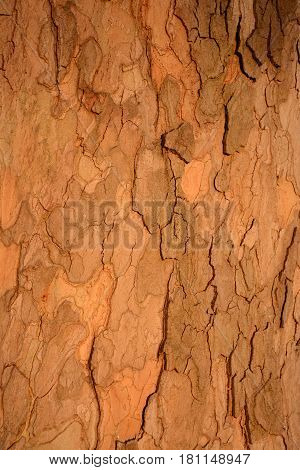 Beautiful bark plane tree texture close up, wooden background