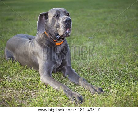Purebred Great Dane that is laying on a green field