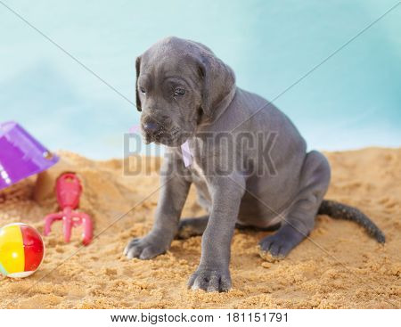 Great Dane puppy on the sand with toys all alone