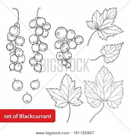 Vector set with outline Black currant, bunch, berry and leaves isolated on white background. Ornate floral elements with blackcurrant in contour style for summer design and coloring book.