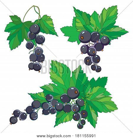 Vector set with outline Black currant, bunch, ripe black berry and green leaves isolated on white background. Ornate floral elements with blackcurrant in contour style for summer or eco design.