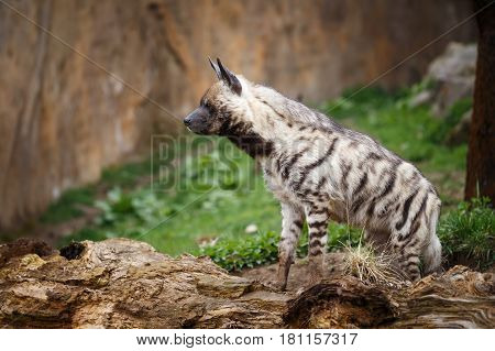 Striped hyena (Hyaena hyaena sultana), Hyena on the guard