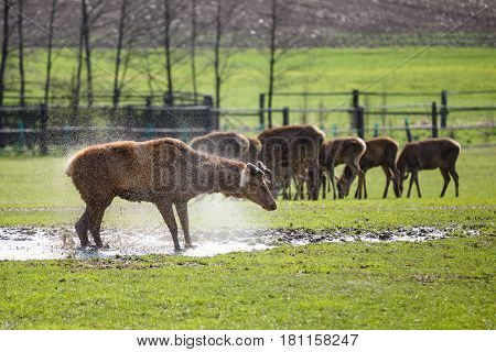 Deer without antlers in the water on pasture