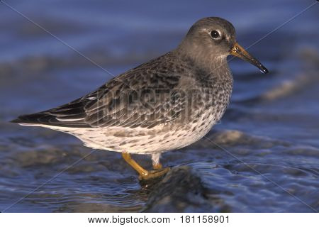 A Purple Sandpiper standing in shallow water in winter on the Atlantic coast