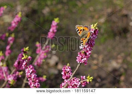 Small tortoiseshell (Aglais urticae) is a colourful Eurasian butterfly in the family Nymphalidae