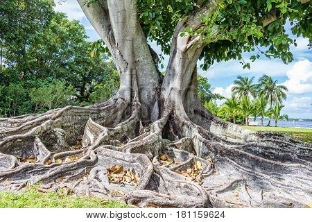 a banyan tree in a park in south Florida.