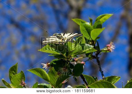Open winged butterfly on a green leaves on sunny day