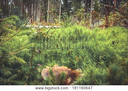 Green moss grass and mushroom in spruce forest background