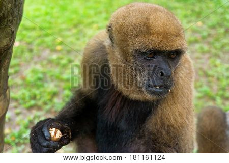 Closeup view of a light brown woolly monkey near Iquitos Peru
