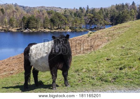 Belted Galloway Cattle grazing on the shores of Tarn Hows in the Lake District UK.
