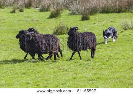 A sheep dog herding a flock of sheep on farmland.