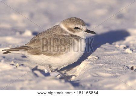A Snowy Plover, Charadrius nivosus on the white sand of Siesta Key, Florida