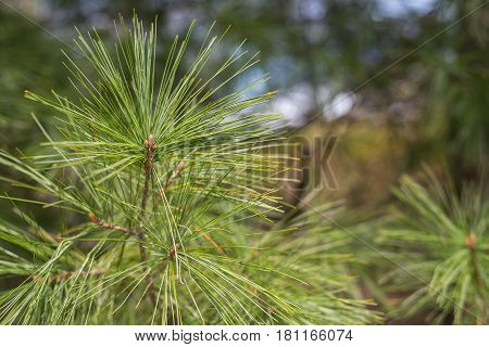 pine leaf needles on branch outdoors from tree
