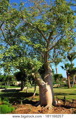 bottle tree in africa - adenium obesum socotra