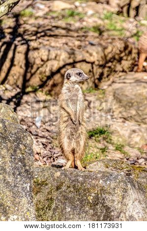 Meerkat Is Watching Around On A Rock