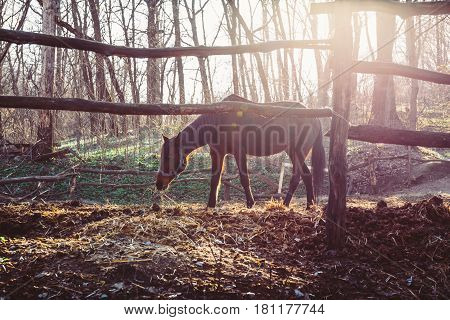 Horse walks in corral on the background of  departing spring sun