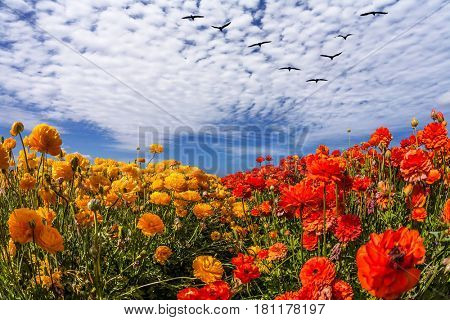 Flock of migratory birds fly beneath the clouds. Strong wind drives the cirrus clouds. The southern sun illuminates the flower fields. Concept of rural tourism
