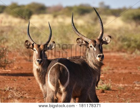 Picture of two waterbuck antelopes in South Africa.