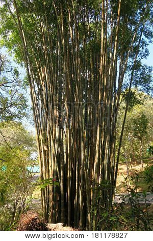 trunk of big bamboo trees in a garden