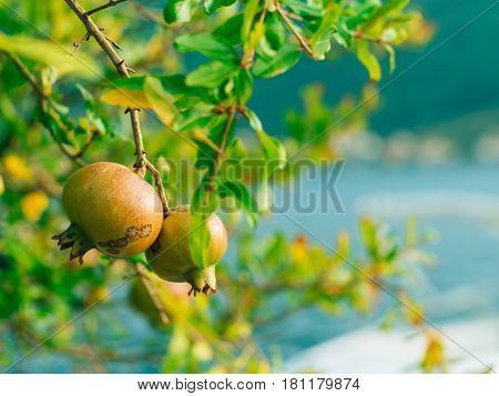 The medium-sized pomegranate fruit on the tree green in Montenegro. Pomegranate tree on the beach.