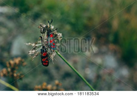 Two six-spot burnet sitting on a withered clover. Zygaena trifolium.