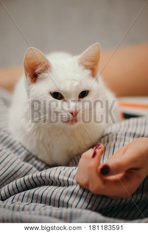 White cat is on the bed. Female body parts. The cat looks at the girl's hand. Female hand and leg.