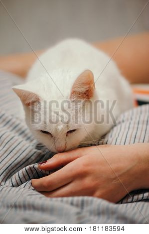 White cat is on the bed. Female body parts. Cat sniffing girl's hand. Female hand and leg.
