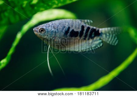 Gourami-Nitenostsy trichopterus in the aquarium. Blue fish.