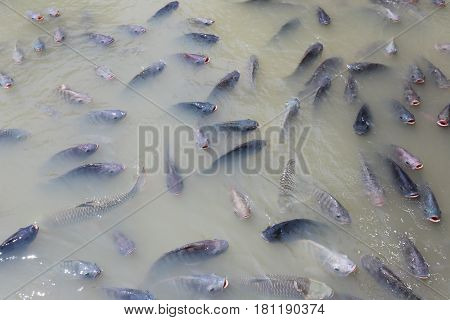 freshwater fish is lacking oxygen because industrial wastewater.