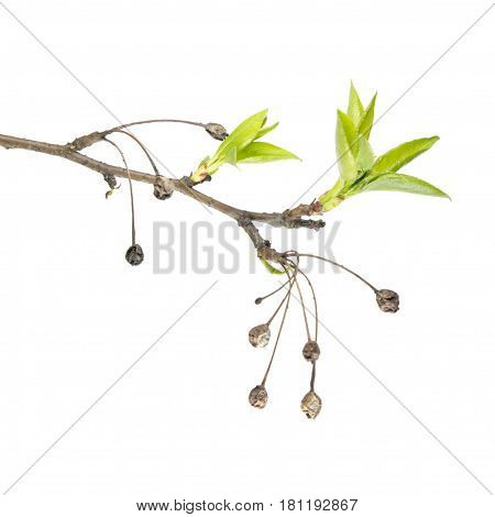 Spring branch of Siberian crab apple (Malus baccata) with dry fruits and fresh green leaves isolated on white background. Spring awakening of plant