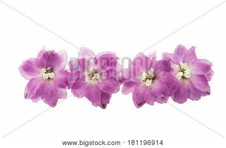 violet delphinium summer flower isolated on white