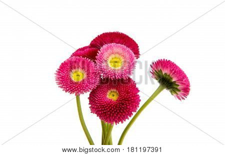 red flower marguerite isolated on white background