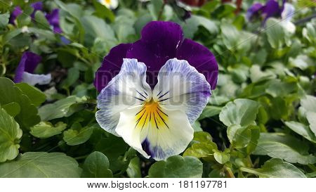 purple white and yellow flower beautiful lovely in spring