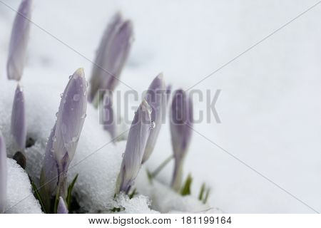 Through wet friable snow not opened large buds of light-violet crocuses have made the way.