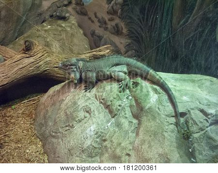 Iguana on a rock waiting for its prey