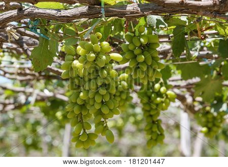 Large bunch of white wine grapes hang from a vine. Ripe grapes with green leaves