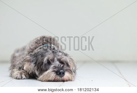 Closeup schnauzer dog lied to sleep on blurred tile floor and white cement wall in front of house view background with copy space