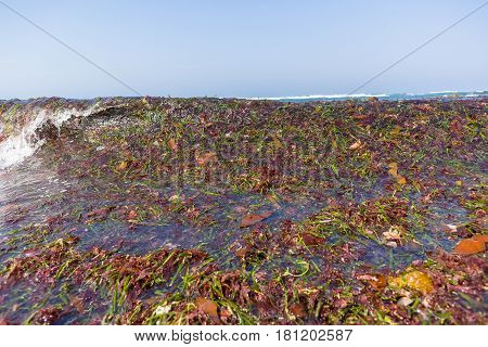 Beach Shoreline covered with marine seaweed plants stripped off reefs from ocean waves natures power.