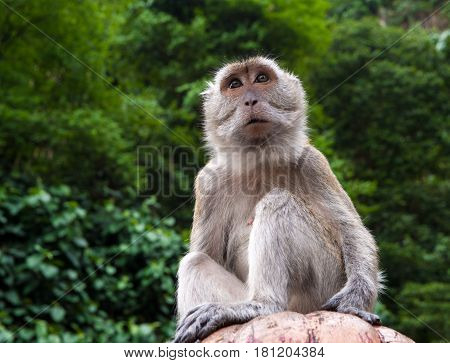 Inquisitive macaque monkey of Batu Cave Hundiu shrine Kuala Lumpur.