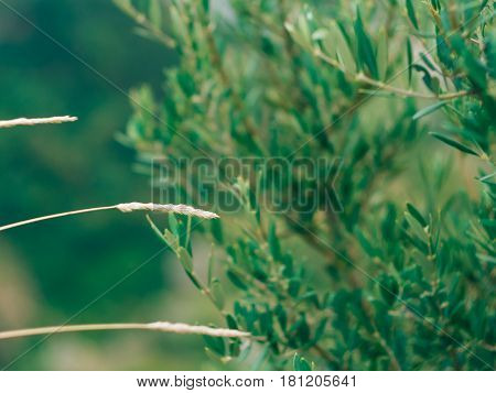 Spikelets in the field at sunset. The texture of grass at sunset. Wild grass, wild grass, dry grass.
