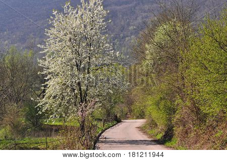 Single tree in full bloom in spring on a meadow under mountain. Rural scene, lonely tree blooming