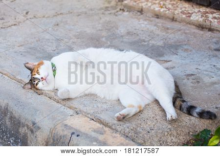 Obesity concept - white fat lazy cat in the street.