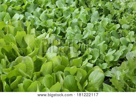 Green Leaves Of Tender Fresh Lettuce For Sale Without Using Pest