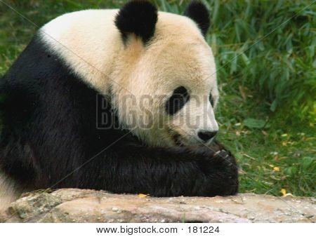 Giant Panda At National Zoo In Washington 2