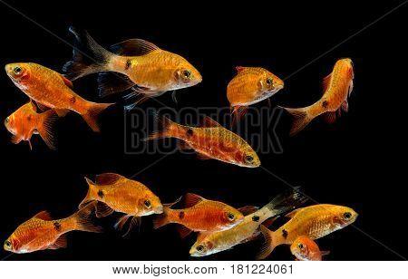 Aquarium Fish, Rosy Barb ( Puntius Conchonius)